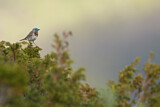 Bluethroat