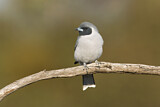 Masked Woodswallow
