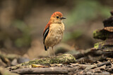 Blue-headed Pitta