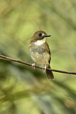Grey-chested Jungle Flycatcher