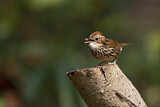 Puff-throated Babbler