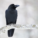 Eastern Jungle Crow