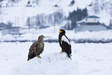 White-tailed Eagle & Steller's Sea Eagle