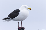 Slaty-backed Gull
