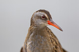 Brown-cheeked Rail