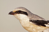 Chinese Grey Shrike