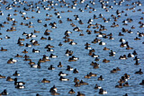 Greater Scaup & Tufted Duck
