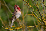 Common Rosefinch
