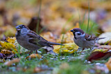 House Sparrow & Eurasian Tree Sparrow