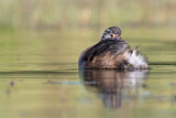 Little Grebe