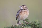 Rufous-naped Lark