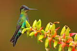 Fiery-throated Hummingbird
