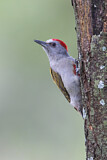 Eastern Grey Woodpecker