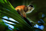 Black-crowned Central American Squirrel Monkey