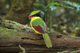 Indochinese Green Magpie