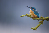 Common Kingfisher