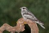 European Nightjar