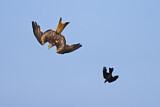 Red Kite & Western Jackdaw