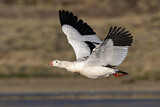 Andean Goose