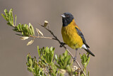 Black-hooded Sierra Finch