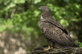 European Honey Buzzard