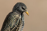 Common Starling