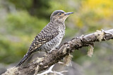 Chilean Flicker