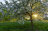 Flowering apple tree in sunlight