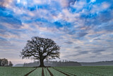 Oak in farmland