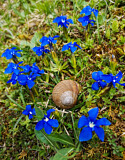 French Escargot with Bavarian Gentian