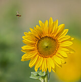 Honey Bee with sunflower