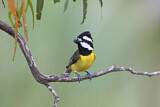 Crested Shriketit