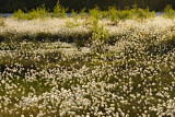 tussock cottongrass landscape