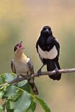 Great Spotted Cuckoo & Eurasian Magpie
