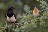 Eurasian Magpie & Great Spotted Cuckoo