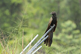 Pheasant Coucal