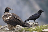 Bearded Vulture & Northern Raven