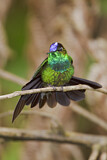 Violet-fronted Brilliant
