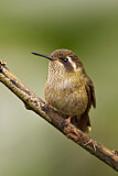 Speckled Hummingbird