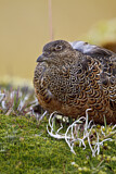 Rufous-bellied Seedsnipe
