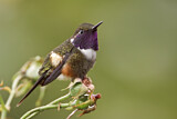 Purple-throated Woodstar
