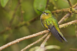 Golden-breasted Puffleg