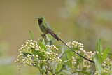 Black-tailed Trainbearer