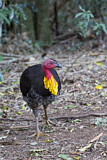 Australian Brushturkey