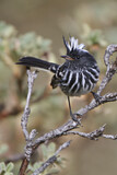 Pied-crested Tit-Tyrant