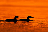 Black-throated Loon & Great Northern Loon