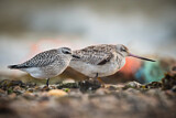 Grey Plover & Bar-tailed Godwit