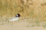Hooded Dotterel
