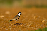 Spur-winged Lapwing