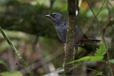 Bolivian White-crowned Tapaculo